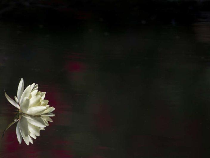 Nymphéa de Giverny en sous-exposition