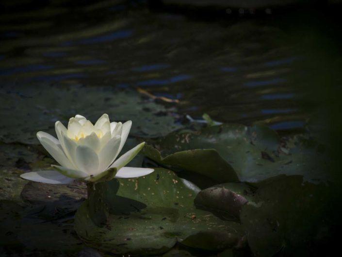 Nymphéa en sous-exposition au jardin d'eau de Monet
