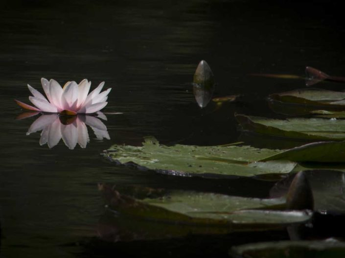 Nymphéa au jardin d'eau de Monet