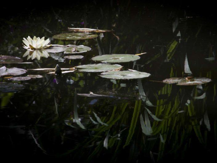 Reflets et sous-exposition au jardin d'eau de Giverny